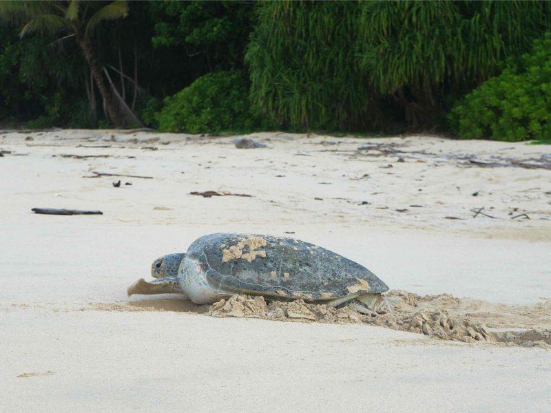 Indonezja Bangkaru  800x600 - Rodzice chrzestni żółwi morskich